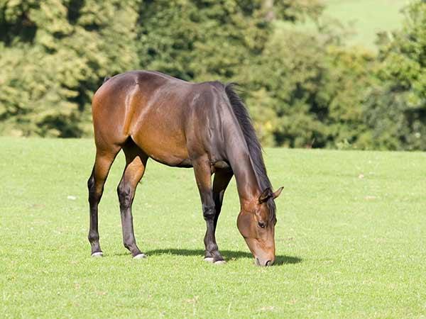 horses with laminitis