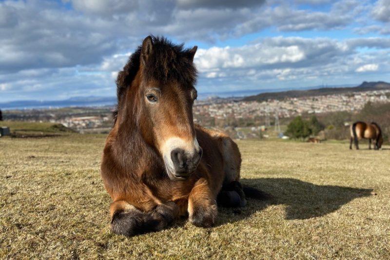 edinburgh exmoor pony