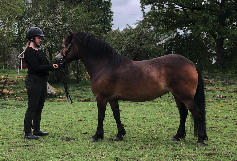 pure bred exmoor pony